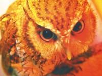 フクロウ『こむぎ』